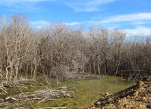 The mangrove forest degradation. The mangrove tree at low tide and degradation Stock Images