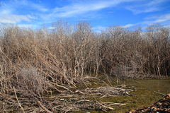 The mangrove forest degradation. The mangrove tree at low tide and degradation Royalty Free Stock Photos