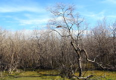 The mangrove forest degradation. The mangrove tree at low tide and degradation Royalty Free Stock Images