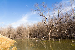 The mangrove forest degradation Royalty Free Stock Images