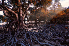 Mangrove forest during the dry season, Satun, Thailand. Stock Photo