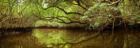Mangrove Forest in Florida Everglades Royalty Free Stock Image