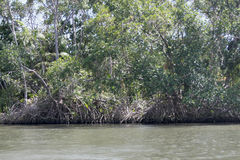 The mangrove Royalty Free Stock Photography