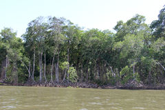 The mangrove Stock Images