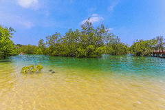 Mangrove forest. Stock Photography