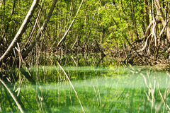 Mangrove forest with green river and plants Royalty Free Stock Photos