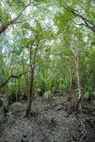 Mangrove forest at Gulf of Thailand Coast Royalty Free Stock Photo
