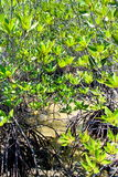 Mangrove forest, huahin, canal Stock Photos