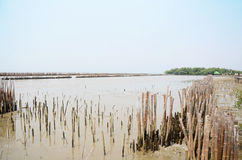 Mangrove forest or Intertidal forest at Bangkhunthein in Bangkok Thailand. Stock Image