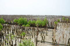 Mangrove forest or Intertidal forest at Bangkhunthein in Bangkok Thailand. Stock Images