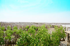 Mangrove forest or Intertidal forest at Bangkhunthein in Bangkok Thailand. Royalty Free Stock Photography