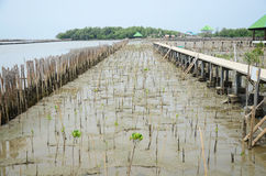 Mangrove forest or Intertidal forest at Bangkhunthein in Bangkok Thailand. Royalty Free Stock Images