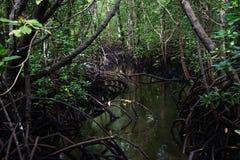Mangrove forest in Jozani Chwaka bay National Park, Zanzibar stock photography