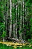 Mangrove forest, Krabi,Thailand Stock Image