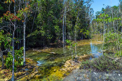 Mangrove forest at Krabi in Thailand Stock Image
