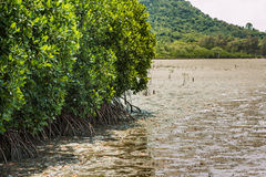 Mangrove forest at Kung Kra Ben gulf, Thailand Royalty Free Stock Images