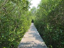 Path in Mangrove forest. Mangrove forest in Laemphakbia, Phetchaburi, Thailand Royalty Free Stock Image