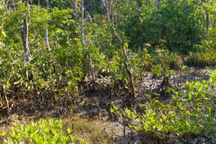 Mangrove forest landscape at Thapom, Klong Song Nam, Krabi, Thai. Land Royalty Free Stock Image
