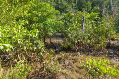Mangrove forest landscape at Thapom, Klong Song Nam, Krabi, Thai. Land Royalty Free Stock Photos