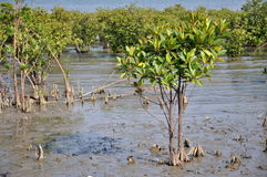 Mangrove Forest. In Leizhou Peninsula, Guangdong province, China stock images
