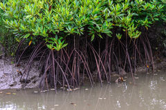 Mangrove forest at low tide Stock Photos