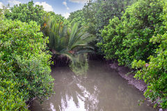 Mangrove forest at low tide Stock Photography