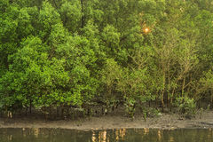 Mangrove forest. In low tide stock photos
