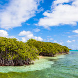 Mangrove Forest. Mangroves in the British Virgin Islands Stock Images
