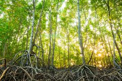 Mangrove forest in morning of Thailand. Mangrove forest in morning of countryside in Thailand royalty free stock photo