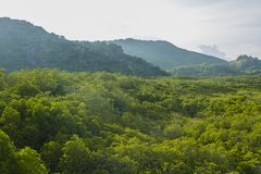 Mangrove forest natural background Royalty Free Stock Image