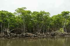 Mangrove Forest at Nakama River in Iriomote Island Stock Photography