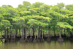Mangrove Forest of Nakama River Royalty Free Stock Photography