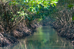 Mangrove forest. In the nature Royalty Free Stock Photography