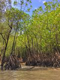 Mangrove forest near James Bond island, Thailand. Mangrove forest at Phang Nga bay, also known as James Bond island, Thailand Stock Photos