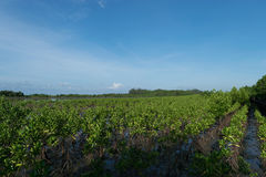 Mangrove forest ,. Perform protect the erosion erodes the shore in the sea , The pulpy , be at aquatic animals small-sized curator stay , before , go out to the Royalty Free Stock Photo