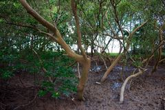 Mangrove forest in Phuket, Thailand Royalty Free Stock Photography