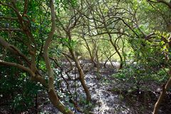 Mangrove forest in Phuket, Thailand Royalty Free Stock Photos