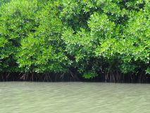 Mangrove forest. Of Pichavaram near Chiadambaram town, Tamilnadu royalty free stock images