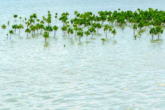 Mangrove Forest Planting to prevent Coastline Corrosion Stock Images