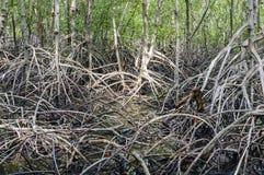 Mangrove forest at Pranburi Forest National Park, Prachuap Khiri Stock Images