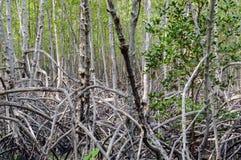 Mangrove forest at Pranburi Forest National Park, Prachuap Khiri Stock Photography