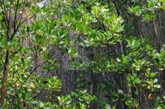 Mangrove forest at Pranburi Forest National Park, Prachuap Khiri Royalty Free Stock Photo
