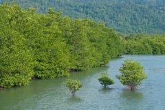Mangrove forest. Prevent coastline corrosion Stock Images