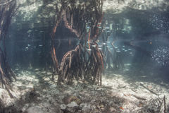 Mangrove Forest. Prop roots descend from red mangrove trees (Rhizophora sp.) in a flooded forest in eastern Indonesia. Mangroves are an ecologically important royalty free stock photos