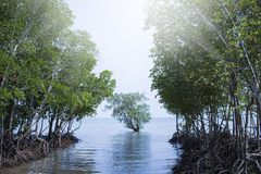 Mangrove forest in Railay, Thailand Royalty Free Stock Photography