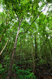 The mangrove forest Royalty Free Stock Photo
