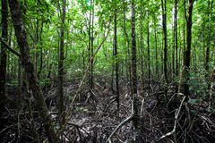 The mangrove forest Royalty Free Stock Image
