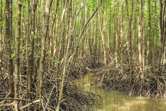 Mangrove forest. At Rayong, Thailand Stock Photography