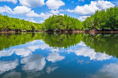Mangrove forest reflected Stock Photo