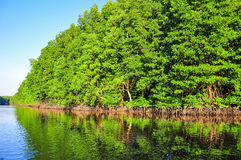 Mangrove forest reflection Royalty Free Stock Photos